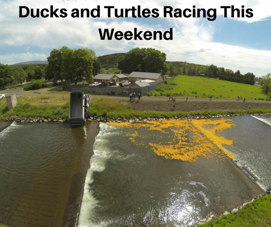 Ducks and turtles racing this weekend