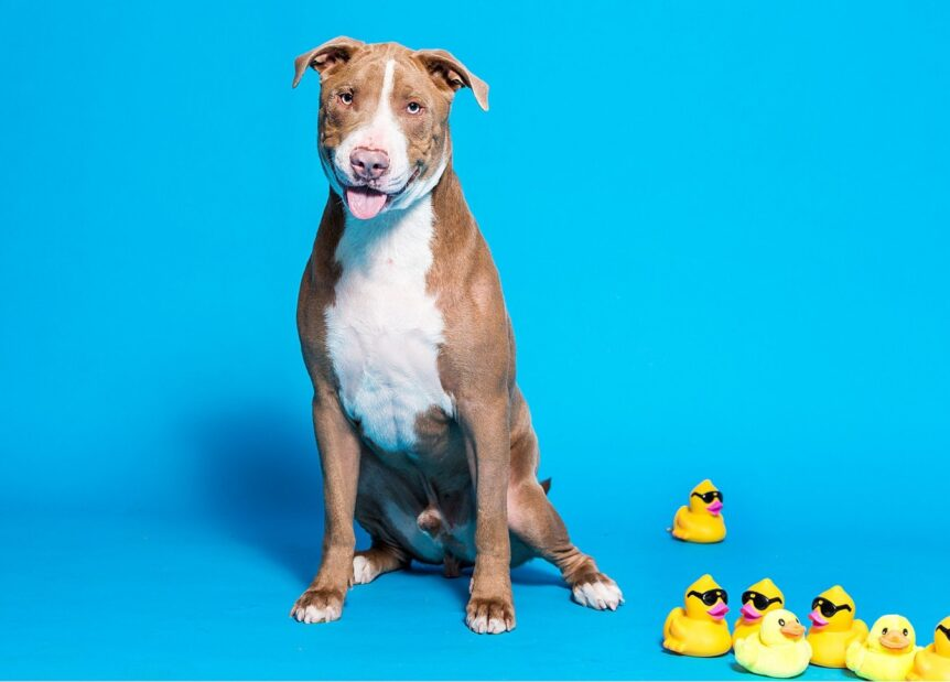 Dog Smiling with Rubber Ducks